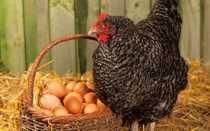 Яйценоскость кур: от чего зависит, безопасные способы увеличения продуктивности в домашних условиях