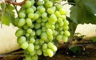 Виноград Кеша (супер Кеша-1 и 2) описание сорта, уход и выращивание