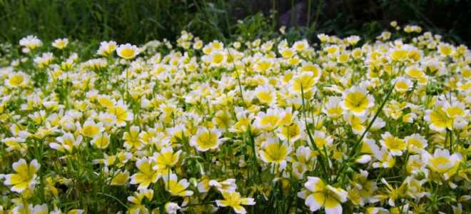 Лимнантес Дугласа: фото, выращивание из семян, посадка, уход