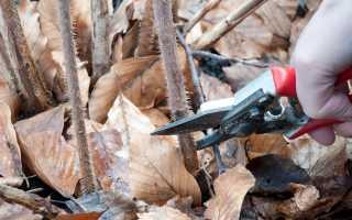 Уход за малиной: посадка, осенняя обрезка и размножение