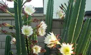 Кактус цереус (Cereus): виды растения, фото цветков и уход в домашних условиях