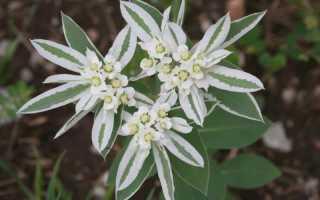 Молочай окаймленный (горный снег): выращивание из семян