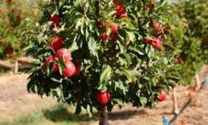 Карликовые плодовые деревья: сорта, отзывы