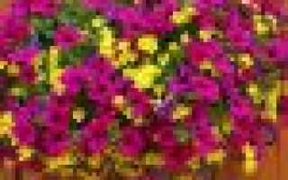 Ампельные растения и особенности ухода за ними