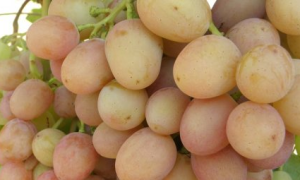 Сорт винограда Гурман ранний: описание, посадка, уход