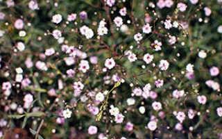 Гипсофила – описание растения и видовое размножение (80 фото)