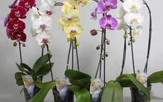 Орхидея – уход в домашних условиях после покупки в магазине, полив и пересадка