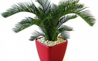 Комнатный цветок цикас (саговник): фото видов домашнего растения, как ухаживать за цикасом
