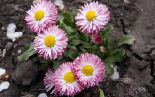 Маргаритка многолетняя – фото цветка для изящного садоводства