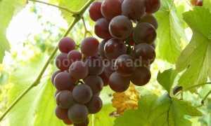 Виноград Лидия: происхождение, описание сорта, уход и выращивание