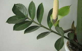 Долларовое дерево: цветение и описание цветка с фото, особенности выращивания и ухода в домашних условиях
