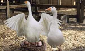 Гнезда для гусей: как сделать своими руками, виды и размеры