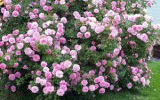 Вербена как сохранить зимой сохранение растения до весны