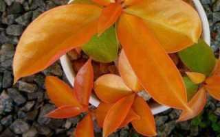 Переския Годсеффа: фото и описание растения, нюансы цветения и размножения, уход в домашних условиях, основные вредители и болезни