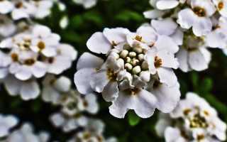 Иберис многолетний посадка и уход, выращивание в открытом грунте, фото в ландшафтном дизайне