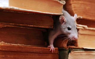 Что любят крысы ‒ лучшая приманка в крысоловку