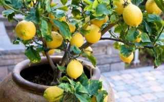 Как вырастить лимон из косточки – уход за лимоном в домашних условиях