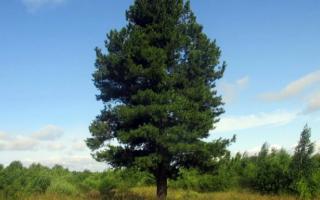Кедровое дерево – 77 фото разных типов кедра и кедровых шишек