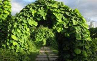 Кирказон: фото, виды, лечебные свойства и способы выращивания