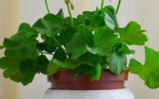 Почему не цветет герань, а только дает листву: причины и правильный уход в домашних условиях