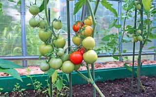 Помидоры в теплице из поликарбоната: посадка и уход, правильная технология выращивания томатов
