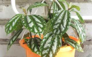 """Пилея """"Кадье"""": уход в домашних условиях, фото, полив и размножение растения"""