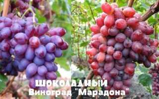Сорт винограда Марадона – каков он на вкус?