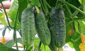 Огурец Муравей: описание и характеристика сорта, урожайность с фото