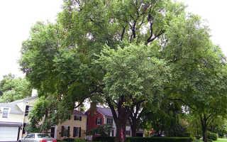 Вяз: фото дерева и листьев, описание мелколистного, шершавого, гладкого, перистоветвистого каргача, семена и плоды обыкновенного вяза
