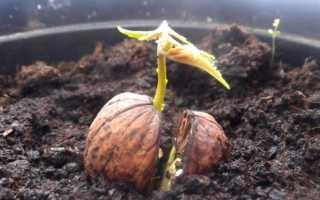 Дерево грецкого ореха: выращивание, посадка, уход, размножение
