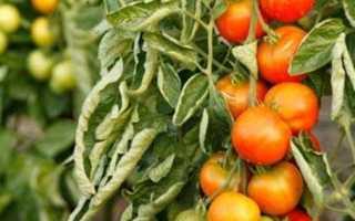Болезни помидоров в теплице: фото, почему опадают цветы, сворачиваются листья