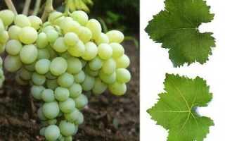 """Виноград """"Деметра"""": описание сорта и фото, полезные тонкости выращивания"""