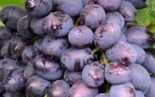 Виноград Гала: фото и описание сорта, особенности посадки и ухода