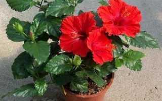 Почему гибискус считают цветком смерти и правила ухода за китайской розой в домашних условиях