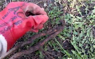 Способы избавления от поросли вишни