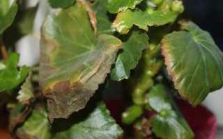Почему вянет бегония в горшке, как спасти растение, если пожелтели листья, в чем причины проблемы, а также каковы меры профилактики?
