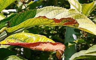 Причины пожелтения листьев у черешни