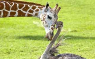 Какого роста самый высокий жираф в мире, высота страуса