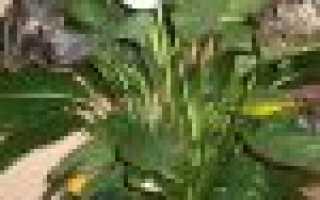 Спатиффилум – почему желтеют листья, сохнут и что делать?