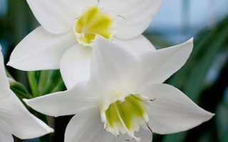 Эухарис (амазонская лилия): описание, хранение луковиц, условия и правила выращивания, режим поливов