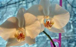 Как поливать орхидеи зимой и осенью: как часто осуществлять процедуру в домашних условиях