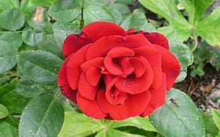 Роза Сантана (Santana): описание и фото плетистого цветка, уход, отличия от других видов, а также каким посадочным материалом размножают?