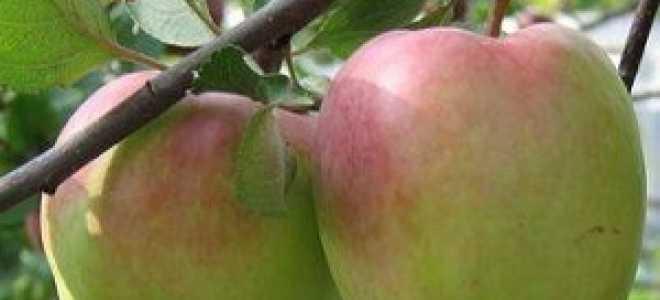 Зимние сорта яблонь: виды, названия, особенности и характеристики, советы садоводов по выращиванию и уходу за деревьями