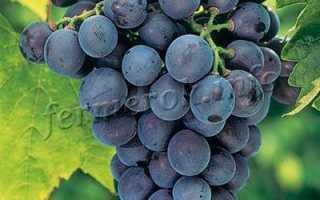 Виноград Кубань: описание, сроки и правила посадки, отзывы о сорте