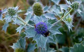 Синеголовник посадка и уход в открытом грунте Синеголовник выращивание из семян фото