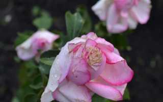 Роза Дольче Вита: фото, описание сорта, отзывы садоводов
