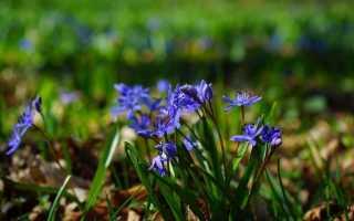 Цветок пролеска: фото, описание, посадка, уход и размножение растения в открытом грунте