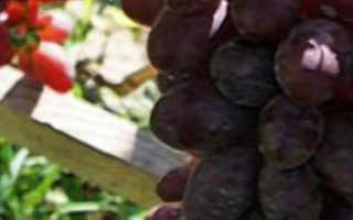 Виноград «Малиновый супер»: описание сорта, фото