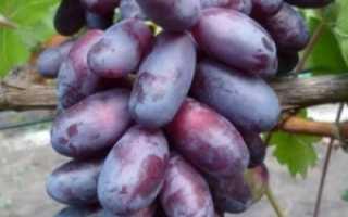 Сорт винограда Изюминка: достоинства и недостатки выращивания