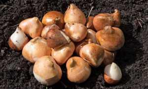 Как защитить от мышей тюльпаны и лилии: спасаем луковицы от грызунов зимой